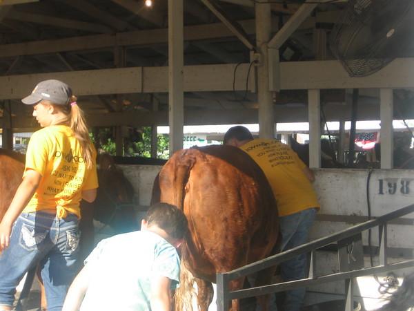 Benton County Fiar Beef Open Heifer and Steer